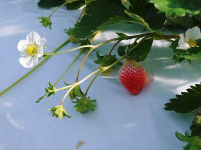 熊本イチゴ第1弾! 熊本限定栽培品種のイチゴ『熊紅』令和元年度の先行予約受付明日よりスタート!!_a0254656_18333245.jpg
