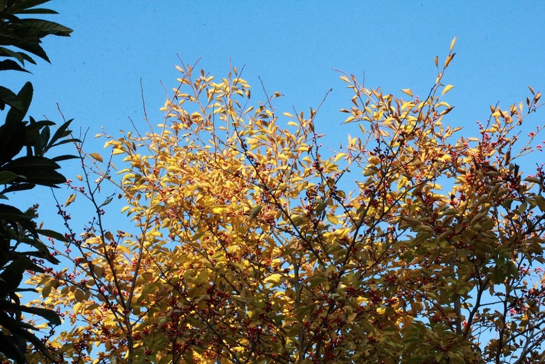 女木が赤い実を ~アオハダ~_a0107574_20041853.jpg