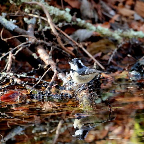 お山の水場に集う鳥たち    KGK_d0346713_19541812.jpg