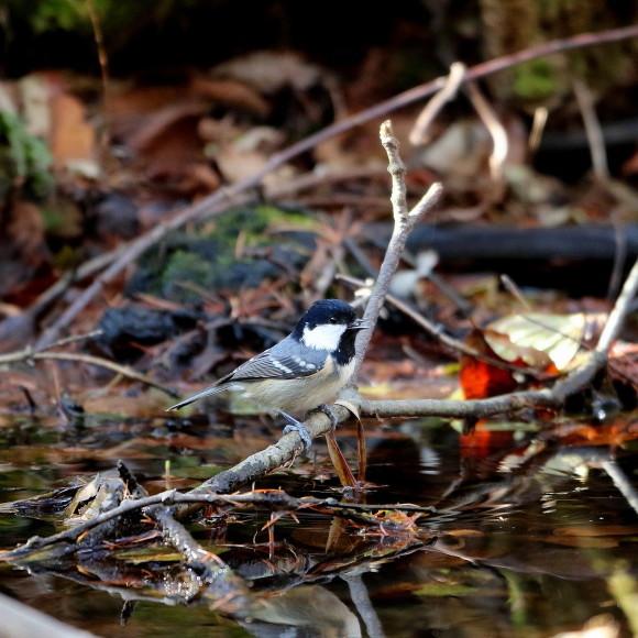 お山の水場に集う鳥たち    KGK_d0346713_19542785.jpg