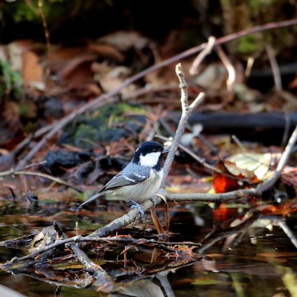 お山の水場に集う鳥たち    KGK_d0346713_19544198.jpg