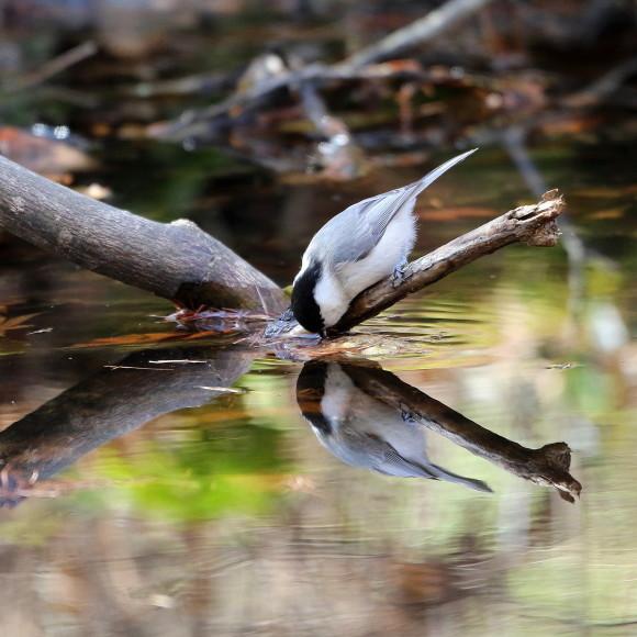 お山の水場に集う鳥たち    KGK_d0346713_20002592.jpg