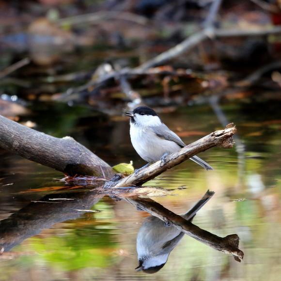 お山の水場に集う鳥たち    KGK_d0346713_20004812.jpg