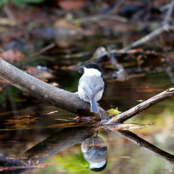 お山の水場に集う鳥たち    KGK_d0346713_20010066.jpg