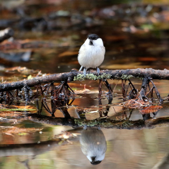 お山の水場に集う鳥たち    KGK_d0346713_20011483.jpg