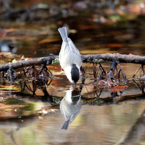 お山の水場に集う鳥たち    KGK_d0346713_20012693.jpg
