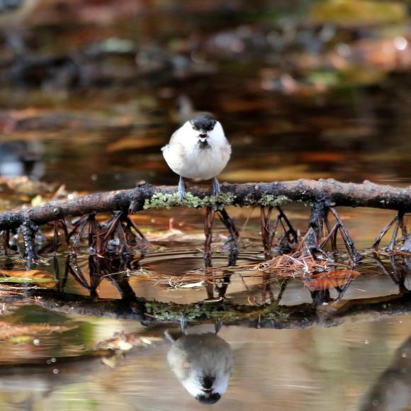 お山の水場に集う鳥たち    KGK_d0346713_20013672.jpg