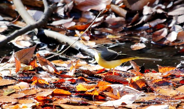 秋色とキセキレイ_f0239515_1912133.jpg