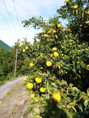 令和元年度の『香り高き柚子』の「冬至用柚子」はいよいよ残りわずか!!ご注文はお急ぎください!_a0254656_19385249.jpg