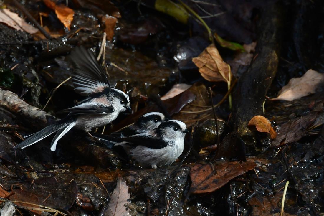 可愛い小鳥 エナガとコガラ ジョビ子さん_f0053272_21273784.jpg