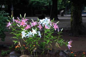 福岡中央公園に集まって ~ユリ、チューリップ、ビオラ~_a0107574_19253612.jpg