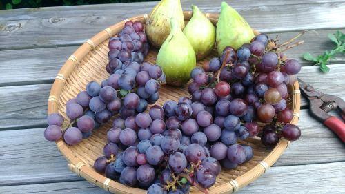 葡萄のスチューベンの成長_c0197684_17291228.jpg