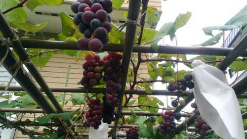 葡萄のスチューベンの成長_c0197684_17310584.jpg