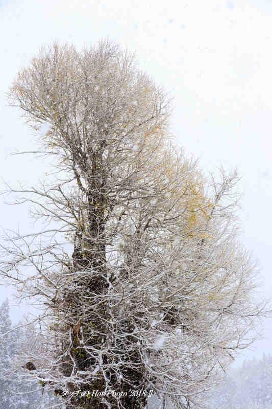 雪の法量のイチョウ_d0027893_20040786.jpg