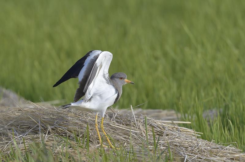 静岡方面探鳥_c0042548_14335407.jpg