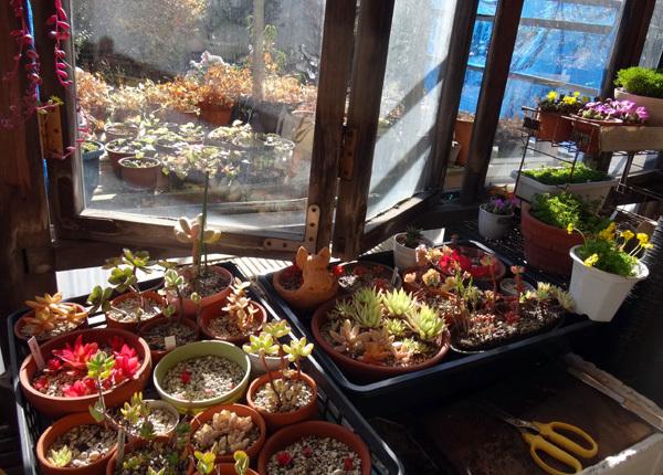 多肉植物たちの冬越し準備、初雪とバルボコジュームなど_a0136293_14552085.jpg
