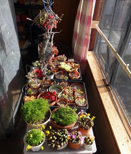 多肉植物たちの冬越し準備、初雪とバルボコジュームなど_a0136293_15000782.jpg
