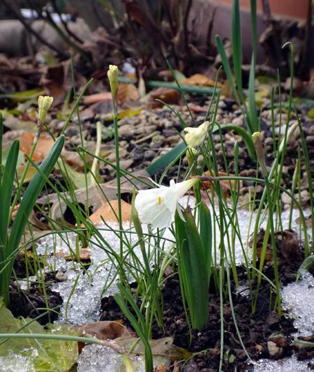 多肉植物たちの冬越し準備、初雪とバルボコジュームなど_a0136293_15074148.jpg