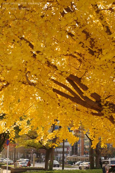 大通りの銀杏が色付くとき_d0309612_08304180.jpg