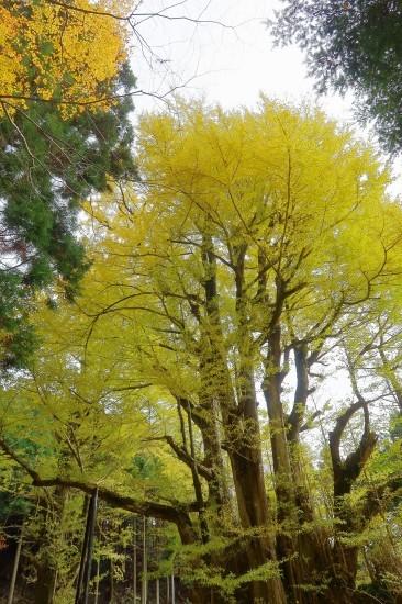 樹齢900年_d0336530_16290444.jpg