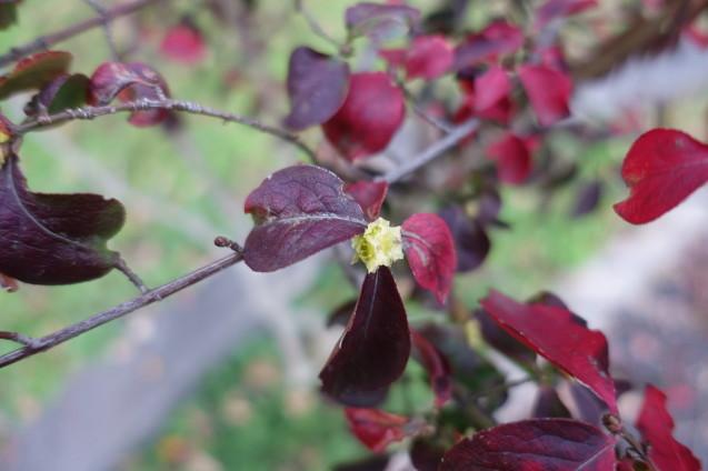 錦木のくるい咲き_e0232277_11290940.jpg