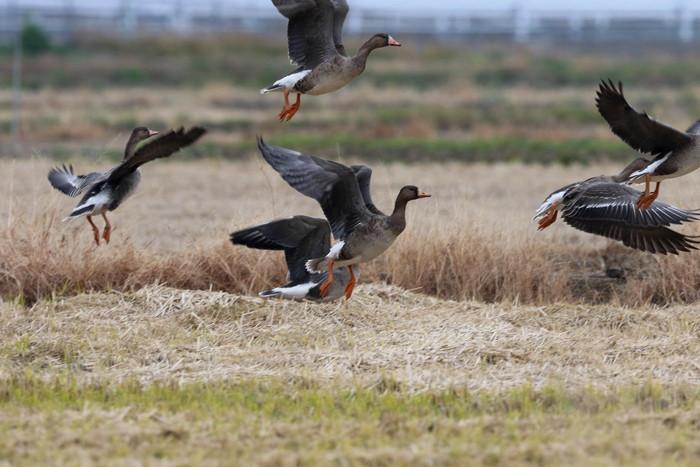 マガン7羽が田んぼで食事中_f0239515_19513877.jpg