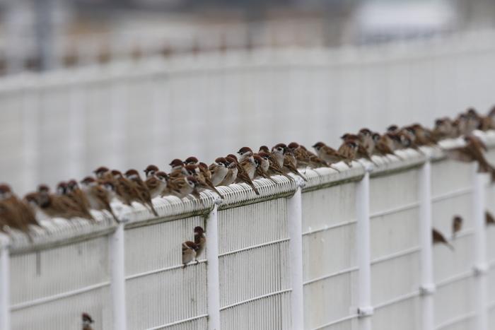 マガン7羽が田んぼで食事中_f0239515_20301126.jpg