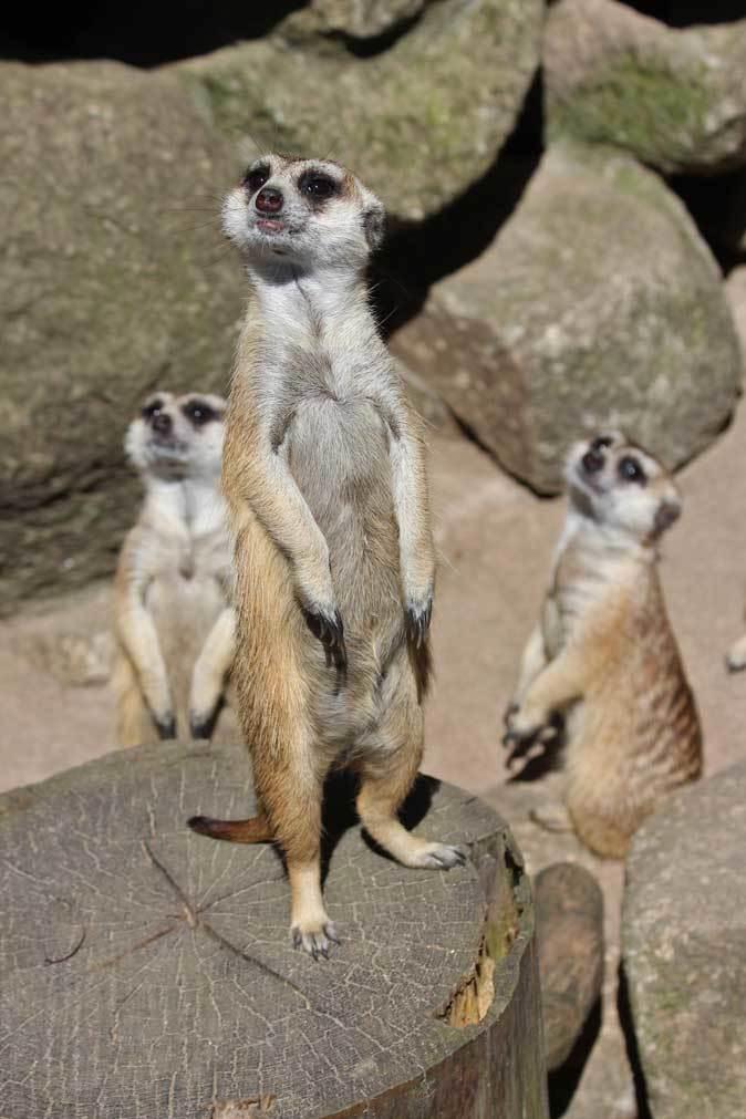 市川市動植物園の動物たち~警戒!ミーアキャット!!_b0355317_21021738.jpg