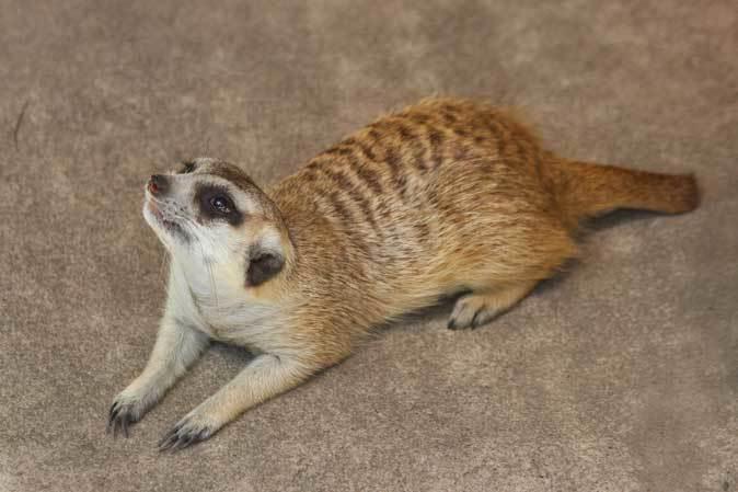 市川市動植物園の動物たち~警戒!ミーアキャット!!_b0355317_21032871.jpg