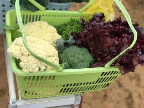 今朝の収穫  はこちらです_c0222448_11151791.jpg