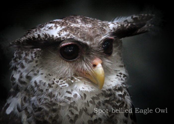 ネパールワシミミズク:Spot-bellied Eagle Owl _b0249597_19103828.jpg