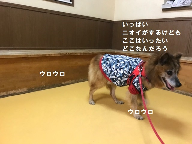 【移動先募集】じいちゃん犬、通院してきました_f0242002_11131537.jpg