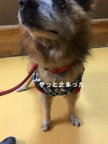 【移動先募集】じいちゃん犬、通院してきました_f0242002_11132331.jpg