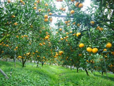 """究極の柑橘「せとか」 今週末の急激な""""寒""""に備え匠は一切の手を抜かず準備をしていました!_a0254656_17410447.jpg"""