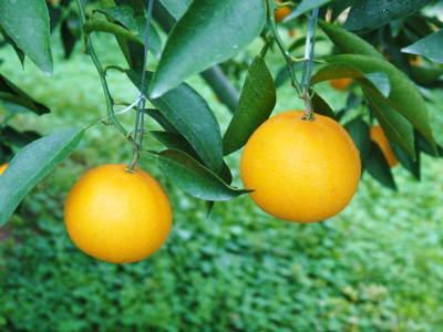 """究極の柑橘「せとか」 今週末の急激な""""寒""""に備え匠は一切の手を抜かず準備をしていました!_a0254656_17524676.jpg"""