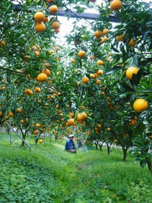 """究極の柑橘「せとか」 今週末の急激な""""寒""""に備え匠は一切の手を抜かず準備をしていました!_a0254656_17550203.jpg"""