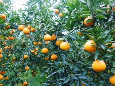"""究極の柑橘「せとか」 今週末の急激な""""寒""""に備え匠は一切の手を抜かず準備をしていました!_a0254656_18053923.jpg"""