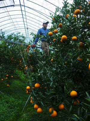 """究極の柑橘「せとか」 今週末の急激な""""寒""""に備え匠は一切の手を抜かず準備をしていました!_a0254656_18102387.jpg"""