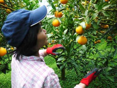 """究極の柑橘「せとか」 今週末の急激な""""寒""""に備え匠は一切の手を抜かず準備をしていました!_a0254656_18165462.jpg"""