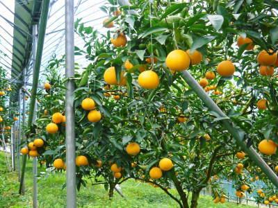 """究極の柑橘「せとか」 今週末の急激な""""寒""""に備え匠は一切の手を抜かず準備をしていました!_a0254656_18232982.jpg"""