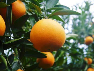 """究極の柑橘「せとか」 今週末の急激な""""寒""""に備え匠は一切の手を抜かず準備をしていました!_a0254656_18273897.jpg"""