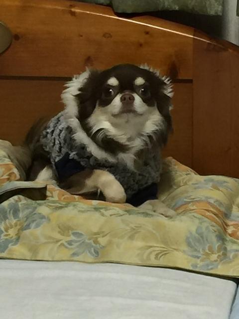 愛犬LCチワワ「ベル」1歳11か月。_f0229190_13574517.jpg