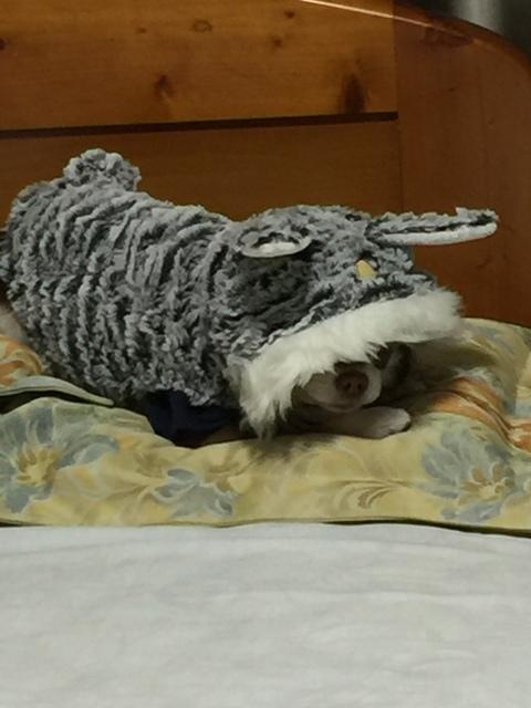 愛犬LCチワワ「ベル」1歳11か月。_f0229190_13580295.jpg