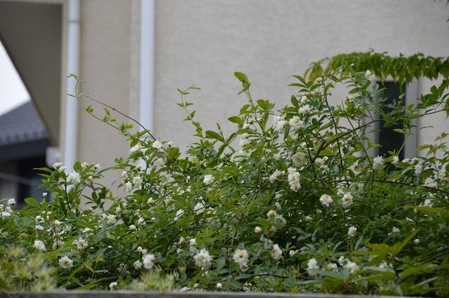 4月23・26日の庭。_c0124100_15221924.jpg