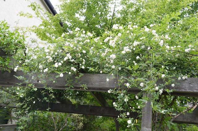 4月23・26日の庭。_c0124100_15222514.jpg