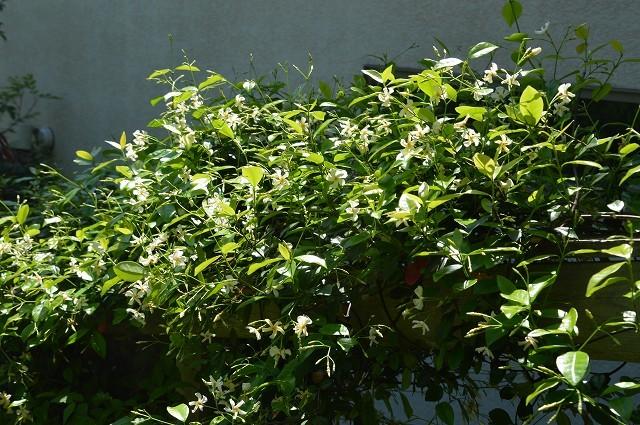 日差しが強くなってきた…5月4・8日の庭。_c0124100_16544959.jpg