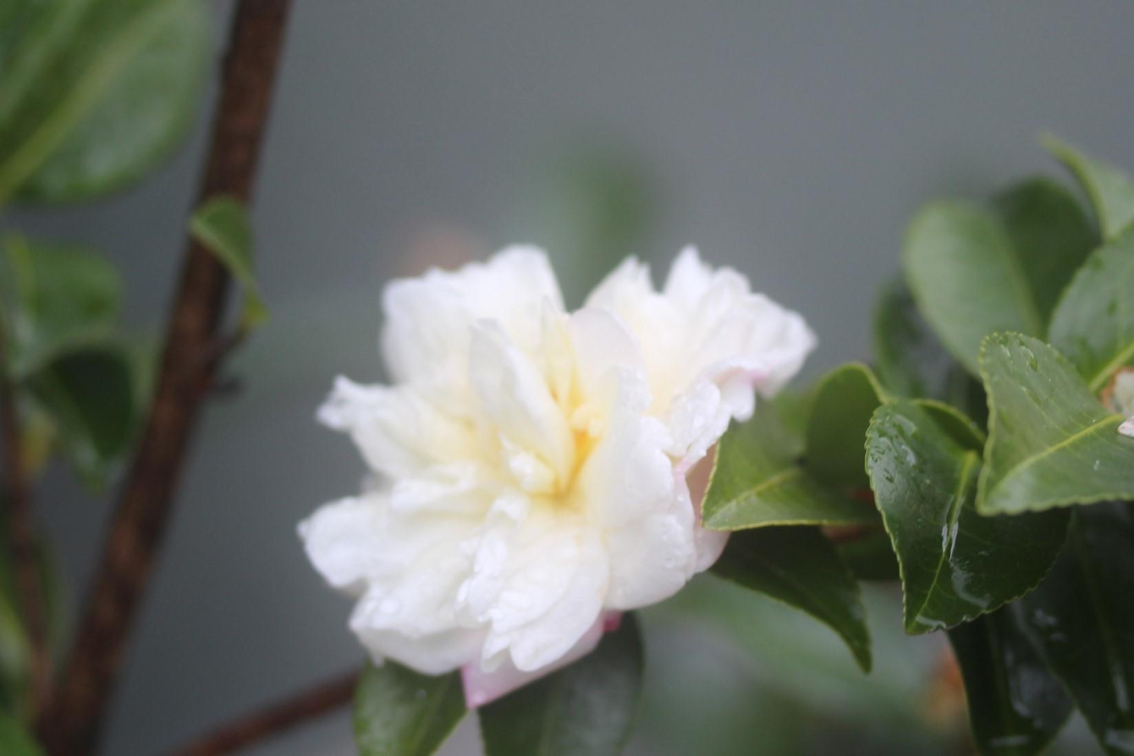 山茶花_e0094102_13215077.jpg
