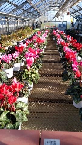冬のお出迎えにふさわしい花。_d0144720_10363986.jpg