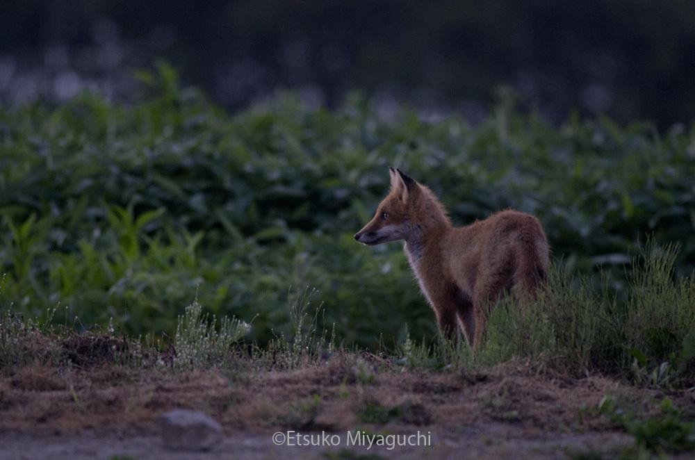 早朝の畑にキタキツネ_f0152939_10002066.jpg