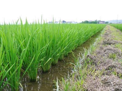 安全で美味しい熊本のお米を紹介!その1:惜しまぬ手間ひまの「七城米 長尾さんちのこだわりのお米」_a0254656_18420110.jpg